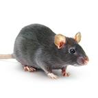 Alles für Ratten
